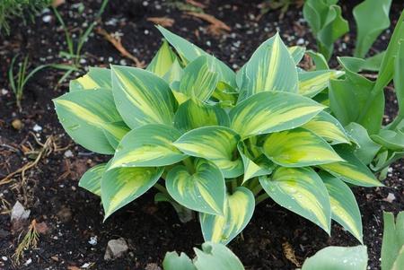 Hosta growing in a garden