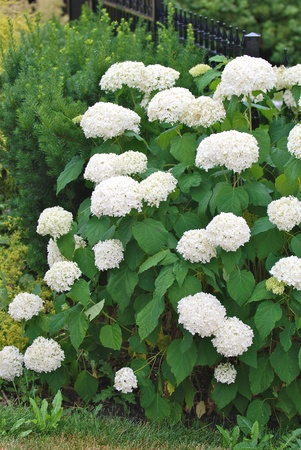 White hydrangea flowers photo