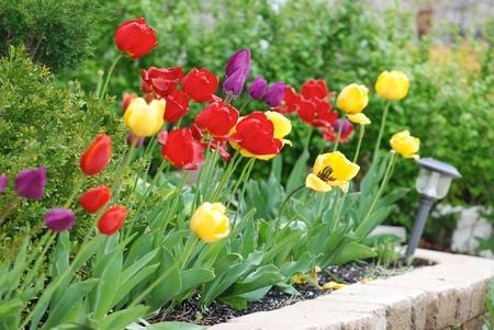 Multicolored tulips in a landscaped garden photo