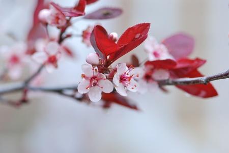 Rózsaszín virágok egy virágzó fa
