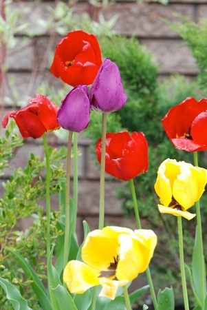 Multicolored tulips Stock Photo - 12615635