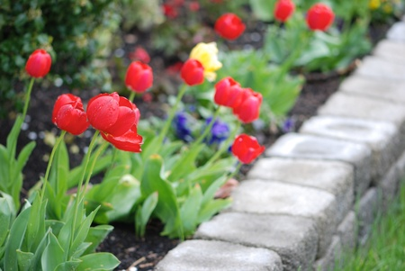 appeals: Multicolored tulips in a landscaped garden Stock Photo