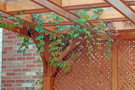 Pergola covered by hanging grapevines photo