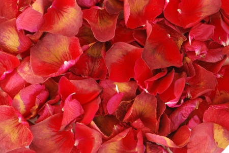 Rose petals background photo