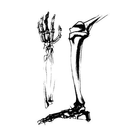 radius ulna: Illustration of academic drawing bones leg and hand of the human . vector