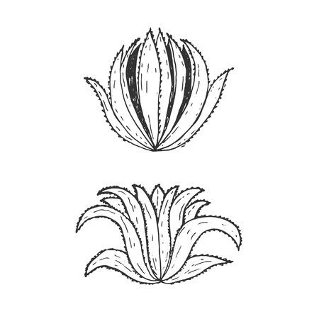 aloe vera plant: Hand drawn illustration template of agave.Vector