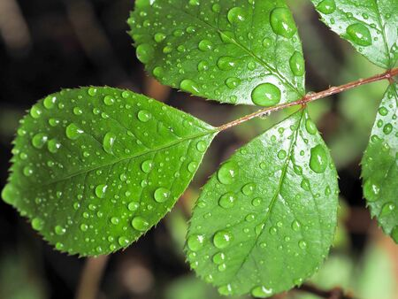close up of rose leaves with water drops on them , with a fresh green foliage Banco de Imagens