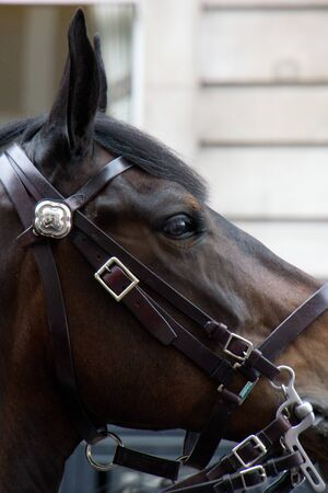 profile of a horses head with ears alert and polished bridle