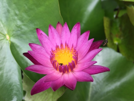 Beautiful pink water lily lotus flower in pond with green leaves