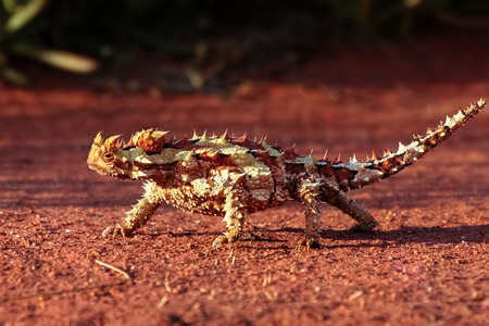 A Thorny Devil in the red desert sand of the outback of Australia