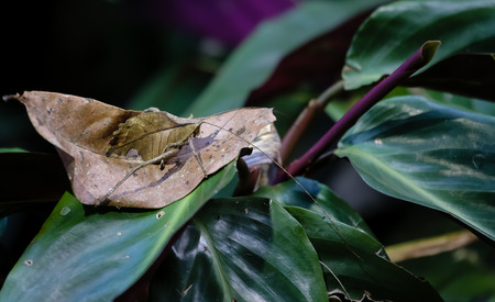 camouflaged: Leaf Katydid well camouflaged in the jungle costa rica
