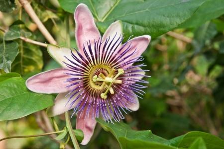 passiflora: Passiflora