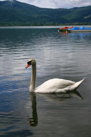 Witte zwaan op het meer Lake Kochel