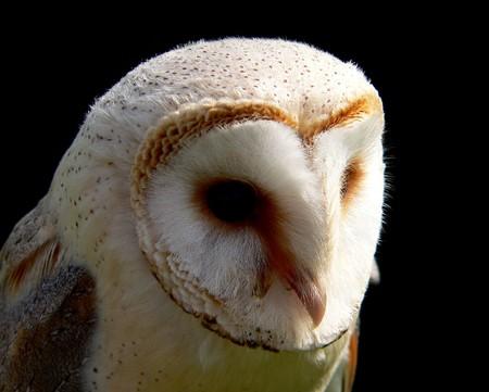 silently: Barn Owl Stock Photo