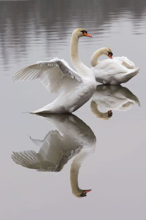 One swan presents his wings, the other one takes care of his feathers. Stock Photo - 340728
