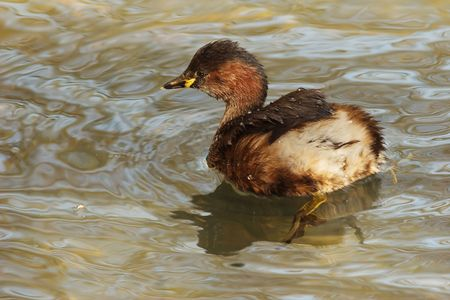 lobes: A little grebe with visible feet, on which the lobes may be recognized.