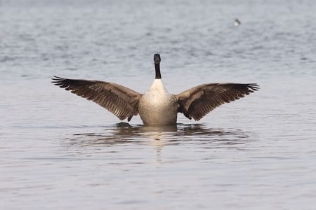 widening: A Canadian goose in the water spreading the wings. Stock Photo