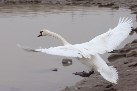 mute swan: A picture of a mute swan taken moments before it touches down on water.