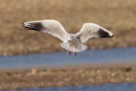ridibundus: A black-headed seagull in flight, with stretched wings.