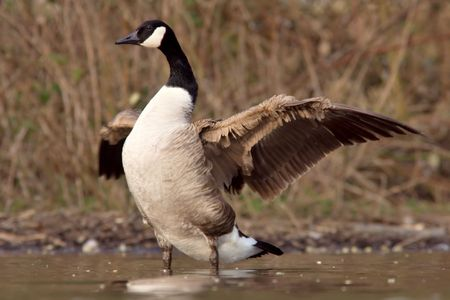 widening: A Canadian goose spreading the wings near the shore Stock Photo