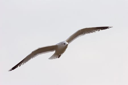 avian: A mew gull seagull in flight, with stretched wings.