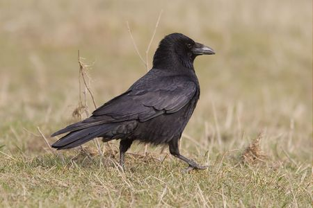 A carrion crow on the ground. photo