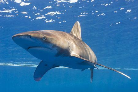 oceanic: oceanic whitip