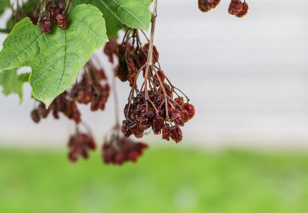 sapless: dried berries on a tree, on a grass background