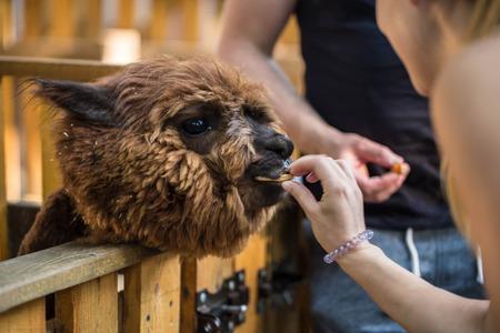 little girl feeding a beautiful llama with hands