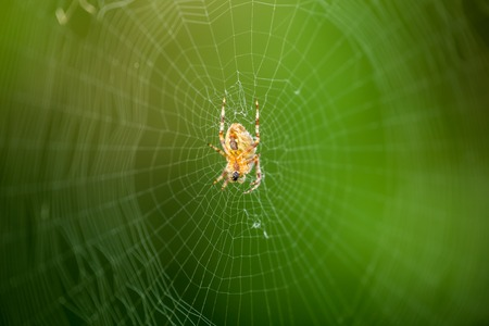 the web is a big beautiful spider on green background, beautiful spider web closeup Stock Photo