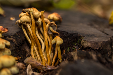 generosidad: beautiful family of mushrooms in an old stump, close-up, autumn cloudy day