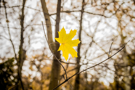 weighs: beautiful yellow leaf weighs himself on a branch, closeup, concept of autumn