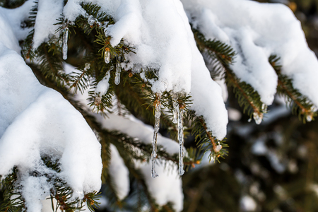heavy snow: winter forest snow covered trees , the concept of winter ,cold Stock Photo