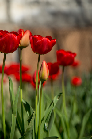 bulb fields: red tulips in the garden ,the concept of spring and flowers