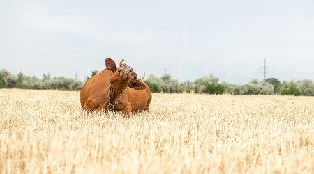 beautiful brown cow grazing in a yellow field