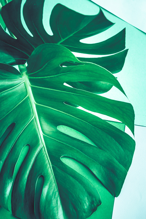 real beautiful big monster leaves on a green background, concept of exotic plants