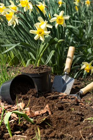 Planting yellow flowers daffodils in the garden, garden tools, flowers. Earth day Stock Photo
