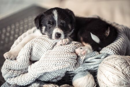 A cute little puppy is lying with a cozy sweater. The concept of Pets . Фото со стока - 130101896