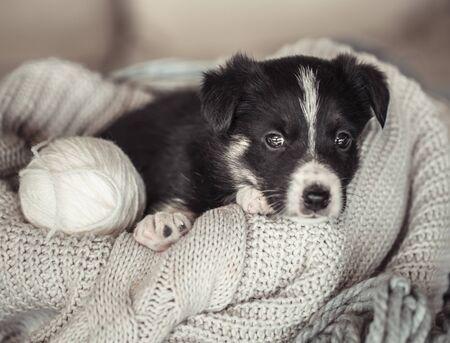 Un mignon petit chiot est allongé avec un pull douillet. Le concept des animaux de compagnie.