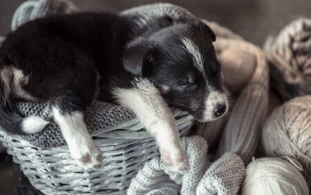 A cute little puppy is lying with a cozy sweater. The concept of Pets . Фото со стока