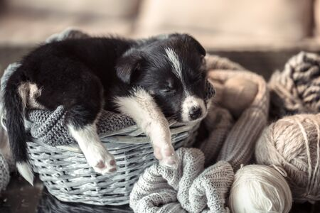 A cute little puppy is lying with a cozy sweater. The concept of Pets .