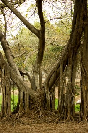 The banyan tree photo