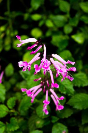 Hosta flowers photo