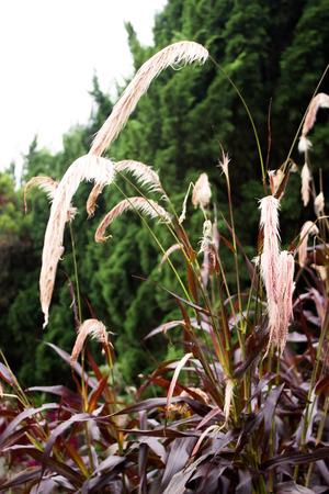 sinensis: Miscanthus sinensis