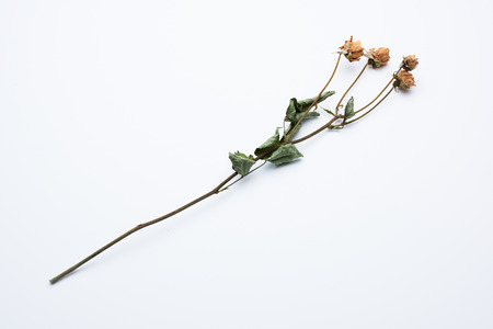 clean and beautiful dried roses