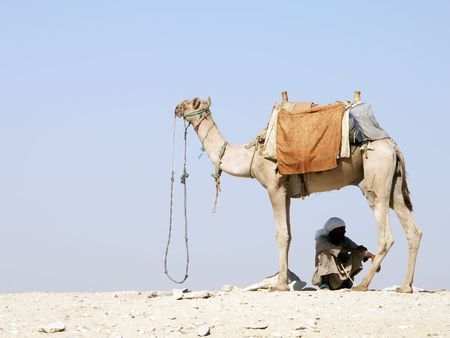 saddle camel: Beduin resting in the shade of his camel