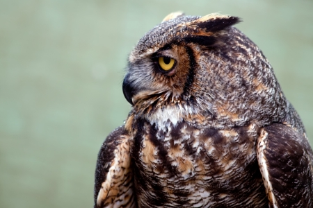 adaptable: The Great Horned Owl, also known as the Tiger Owl, is a large owl native to the Americas  It is an adaptable bird with a vast range and is the most widely distributed true owl in the Americas  Stock Photo