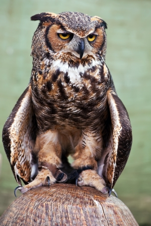 The Great Horned Owl, also known as the Tiger Owl, is a large owl native to the Americas  It is an adaptable bird with a vast range and is the most widely distributed true owl in the Americas  Stock Photo - 15654577