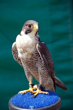 Saker Falcon  Falco cherrug  is a very large falcon  This species breeds from eastern Europe eastwards across Asia to Manchuria  photo