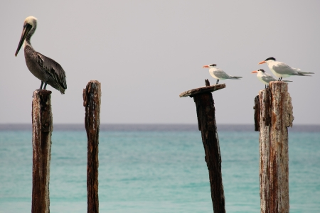 Pelican and seagulls seating on mooring posts on Aruba
